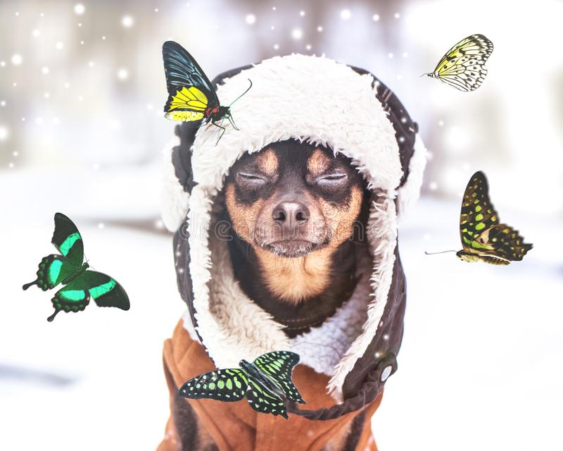 Concept Dreams Come True,  miracle, a dog with eyes closed sits in a winter forest and dreams of summer, butterflies fly stock image