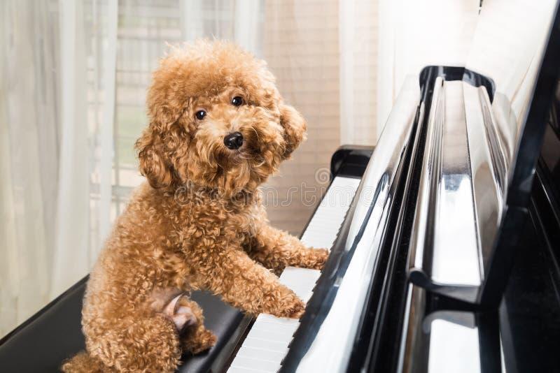 Concept du chien de caniche mignon disposant à jouer le piano à queue image stock