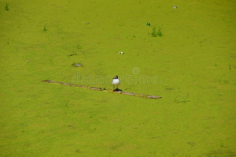 Concept of ecology environmental pollution overgrown Seagull on a dirty pond royalty free stock image