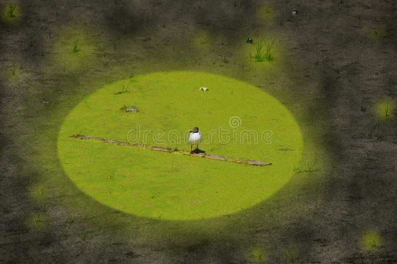 Concept of ecology environmental pollution overgrown Seagull on a dirty pond royalty free stock photos