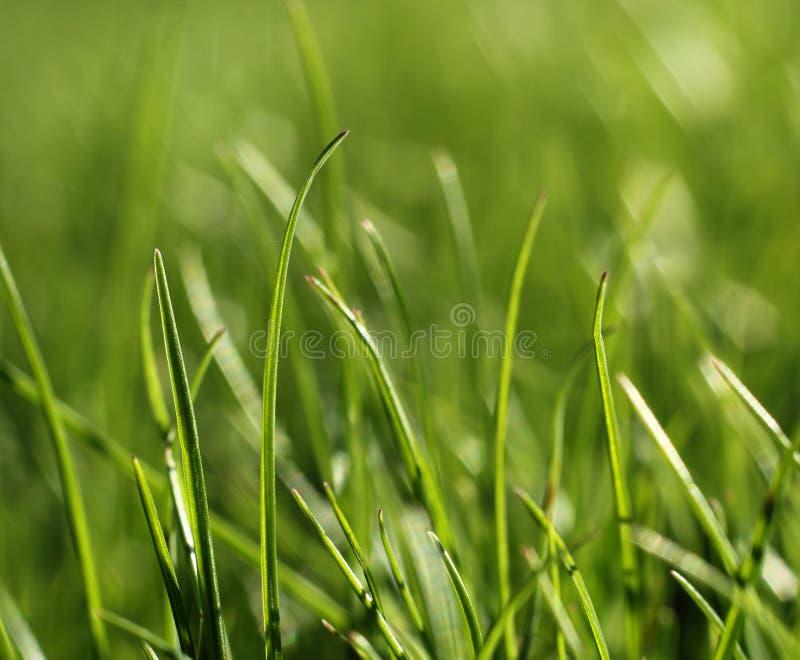 Concept en gros plan de croissance d'herbe verte photo libre de droits