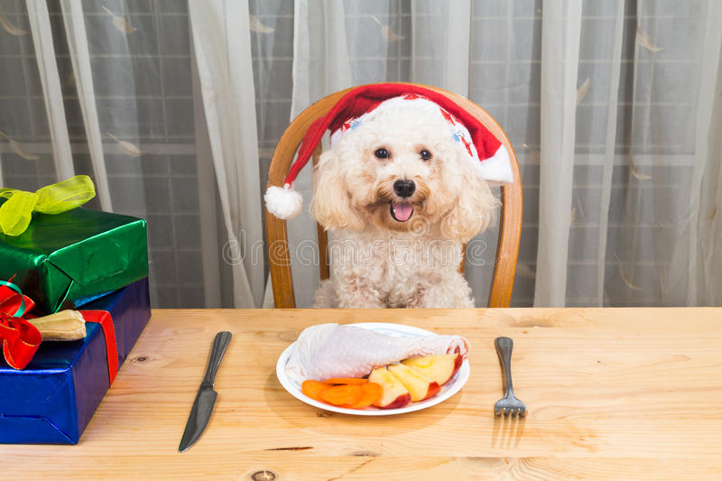 Concept of excited dog on Santa hat having delicious raw meat Ch stock photo