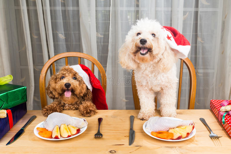 Concept of excited dogs on Santa hat having delicious raw meat C stock photography