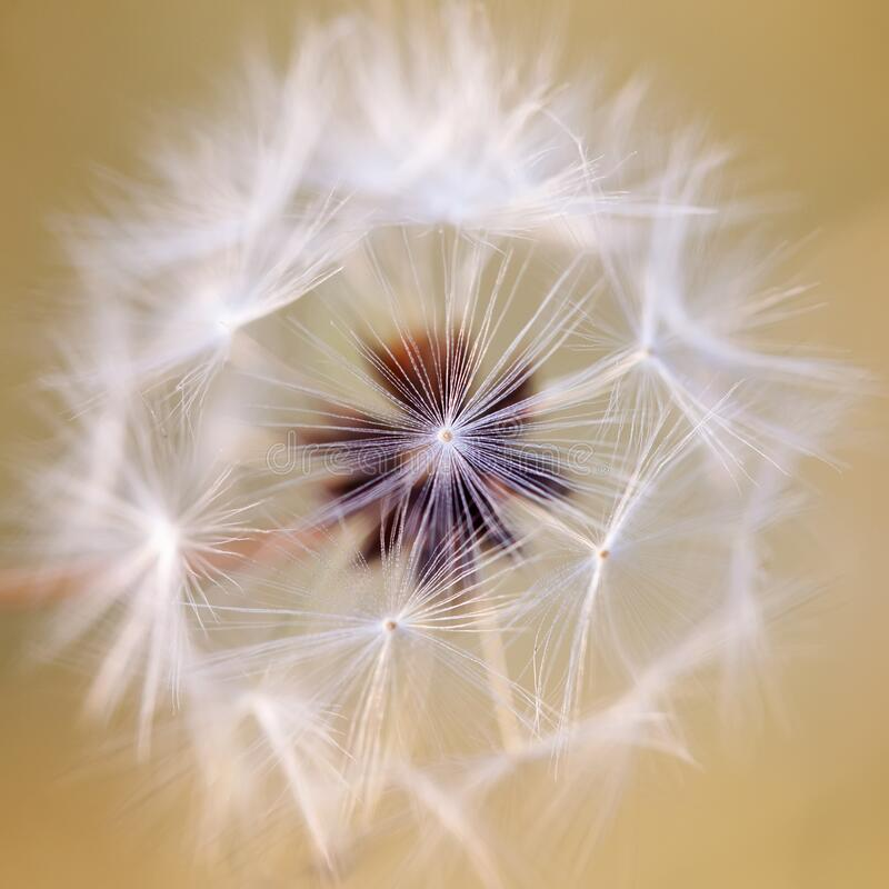 The concept of fragility tenderness lightness in nature. Fluffy flower with seeds pledged inside. Very shallow depth of. Field royalty free stock photo