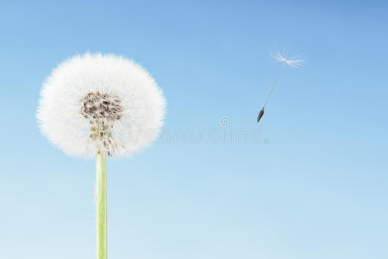 Concept of freedom. Dandelion with seeds flying away with the wind. Copy space, blue sky stock images