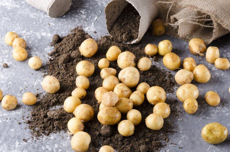 Concept goede oogst op het landbouwbedrijf Turfpotten, jute, verse nieuwe aardappels op de grond, grijze oppervlakte royalty-vrije stock foto