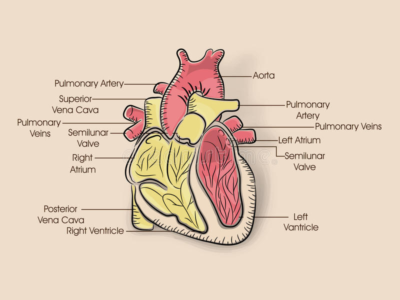 Concept of health and medical with human heart stock illustration download concept of health and medical with human heart stock illustration illustration of parts ccuart Images