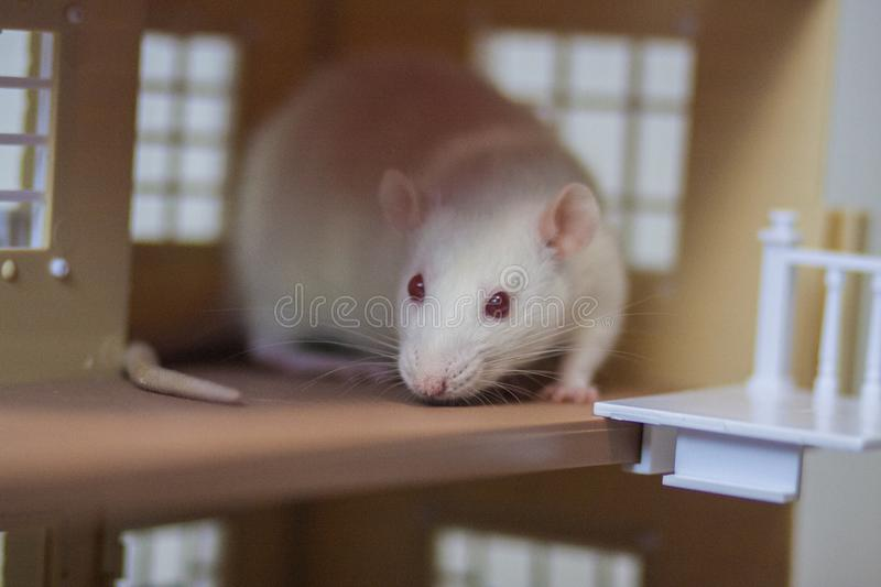 The concept house for the mouse. Apartment for rats. White rat. The concept house for the mouse. Apartment for rats. Placement for the mouse. House for a pet. To royalty free stock photography