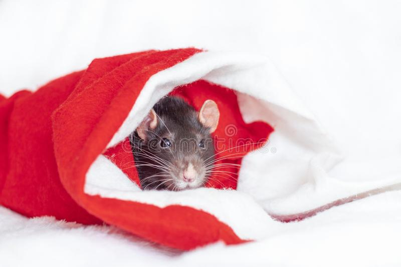 Concept image of symbol chinese happy new year 2020. Christmas rat. Closeup small mouse in santa claus red hat. Lunar horoscope stock photos