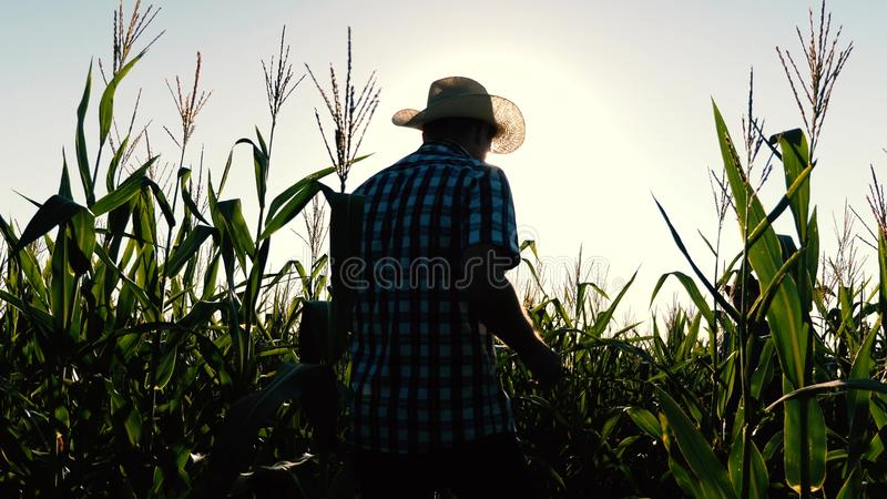 Concept landbouwzaken de agronoommens inspecteert een bloeiend gebied en maïskolven Zakenman met tablet royalty-vrije stock foto