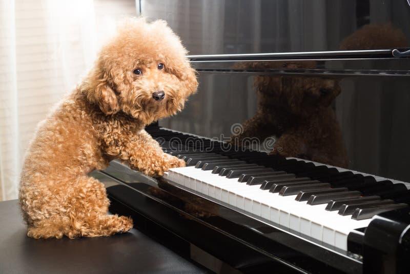 Concept leuke poedelhond die grote piano voorbereidingen treffen te spelen royalty-vrije stock afbeeldingen