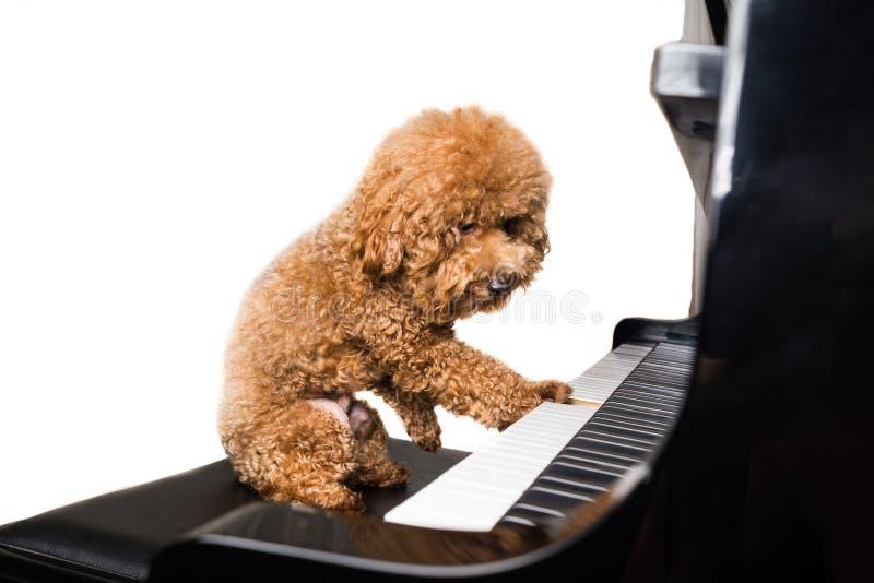 Concept leuke poedelhond het spelen piano op witte achtergrond stock foto's