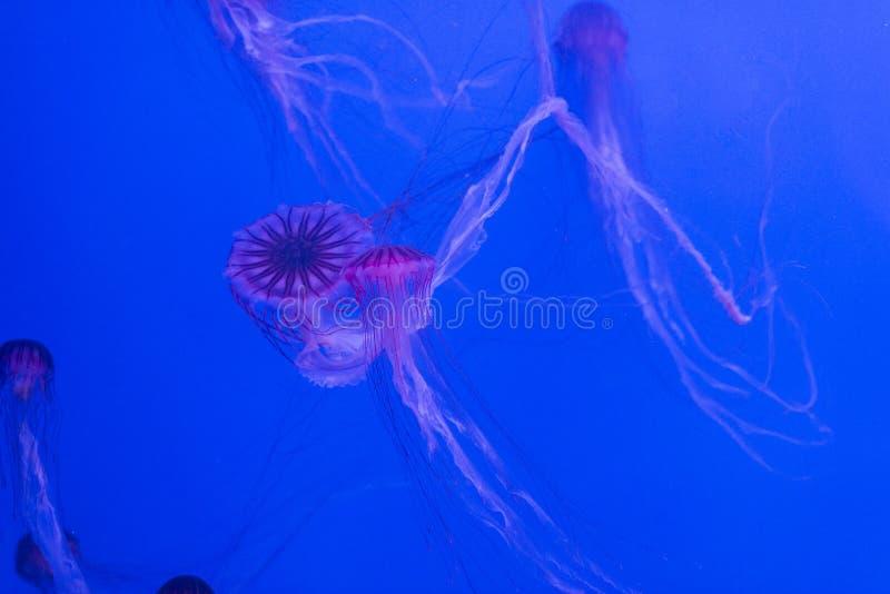 Jellyfish on blue background stock photo