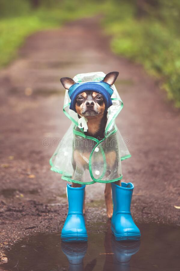 Free Concept Of Autumn And Rain. Funny Dog In A Hat, Rubber Boots And Raincoat Standing In A Puddle On A Forest Path, Portrait Royalty Free Stock Photo - 188697395