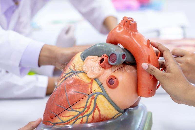 Concept Onderwijsanatomie en fysiologie van hart stock foto's