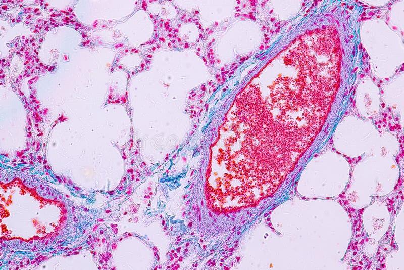 Concept Onderwijsanatomie en Menselijk longweefsel onder microscoop stock foto
