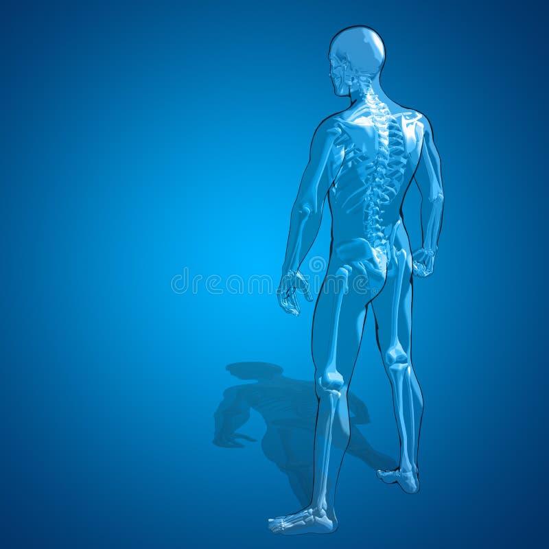 Concept ou anatomie humaine conceptuelle de squelette de l'homme 3D illustration stock