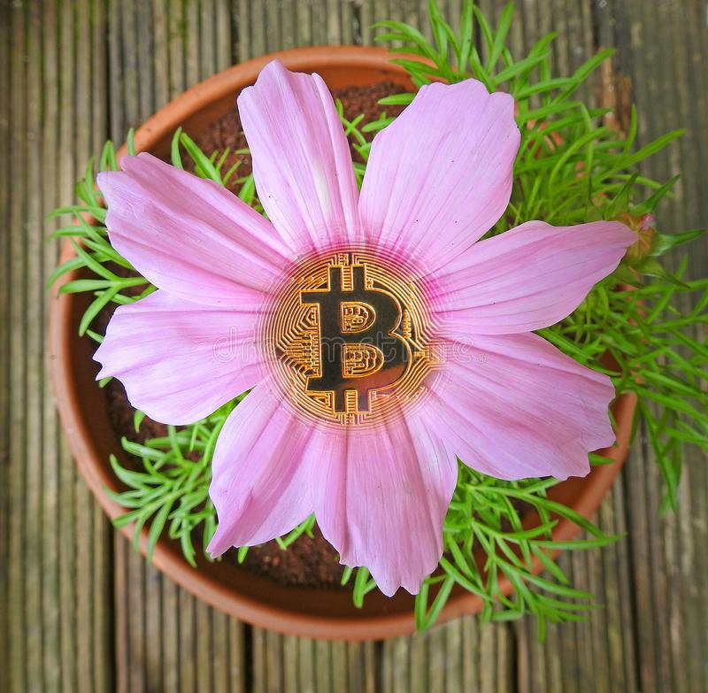 Bitcoin flower in bloom cryptocurrency royalty free stock photos