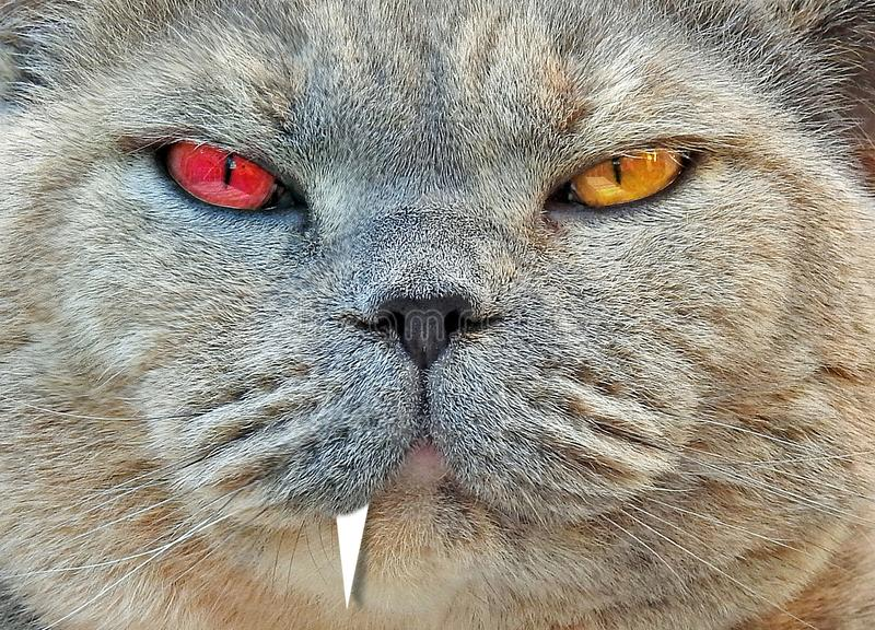 Alter ego split personality bad tempered mean pedigree british shorthair bumpkin cat stock photography