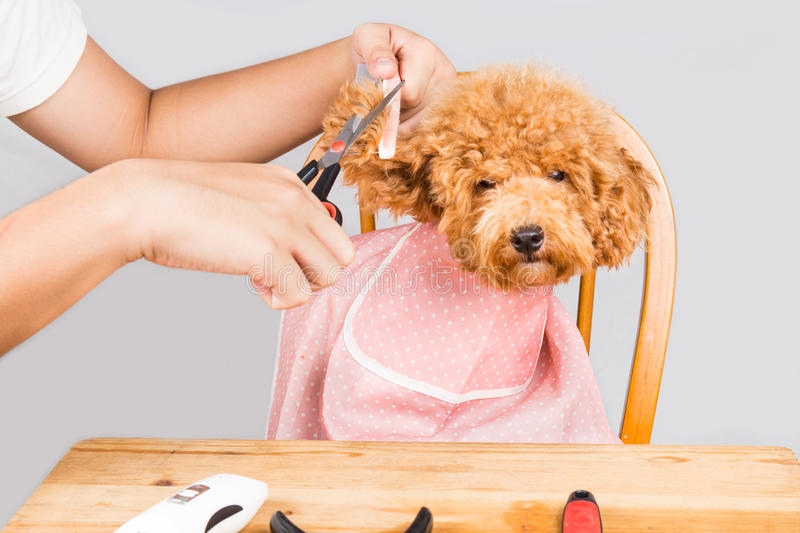 Concept of poodle dog fur being cut and groomed in salon stock photo