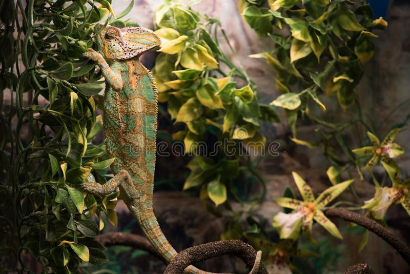 Concept sauvage de la vie et de reptiles Lézard exotique d'animal familier en nature photo stock