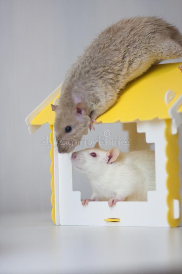 The concept of separate housing. To buy a house. White mouse stock image