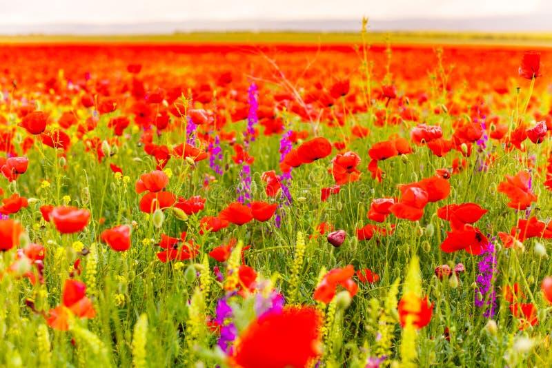 Concept spring flower. Poppy field background. Season landscape. Beautiful flowers in bloom. Concept spring flower. Poppy field background. Season landscape stock photos