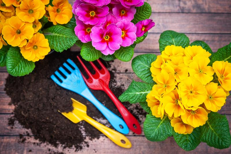 Concept Spring planting , harmony and beauty. Flowers Primula pink and yellow and garden tools stock photography
