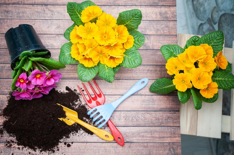 Concept Spring planting , harmony and beauty. Flowers Primula pink and yellow and garden tools royalty free stock photos