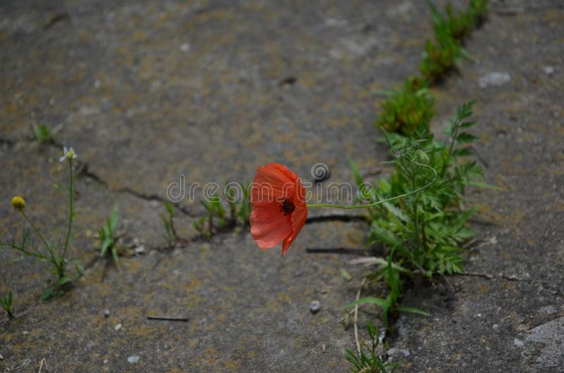 Concept of struggle for new life.Closeup of strong red poppy growing from the concrete. Beautiful red poppy growing through the concrete.Concept of power stock photo