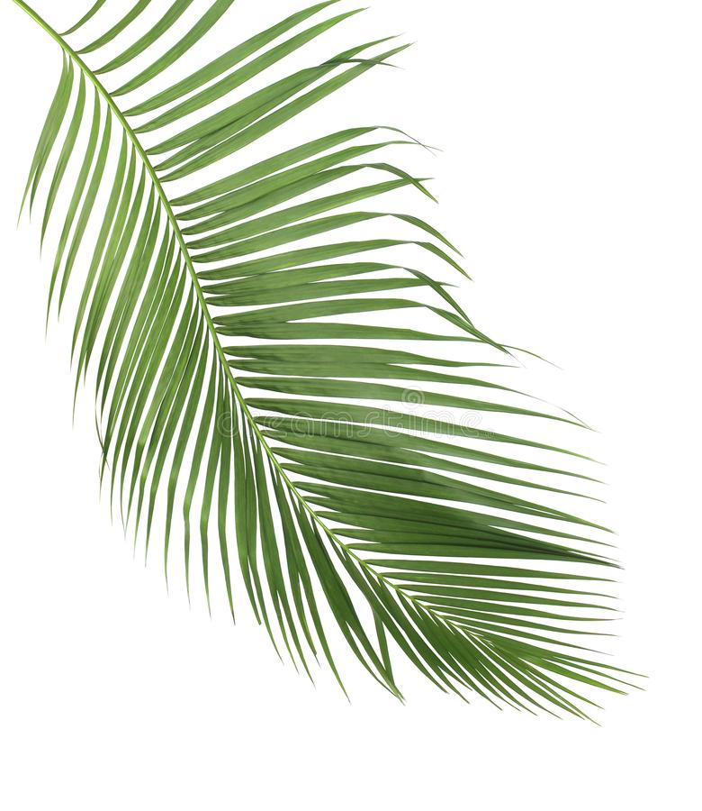 Free Concept Summer With Green Palm Leaf From Tropical . Frond Floral Stock Image - 99995881