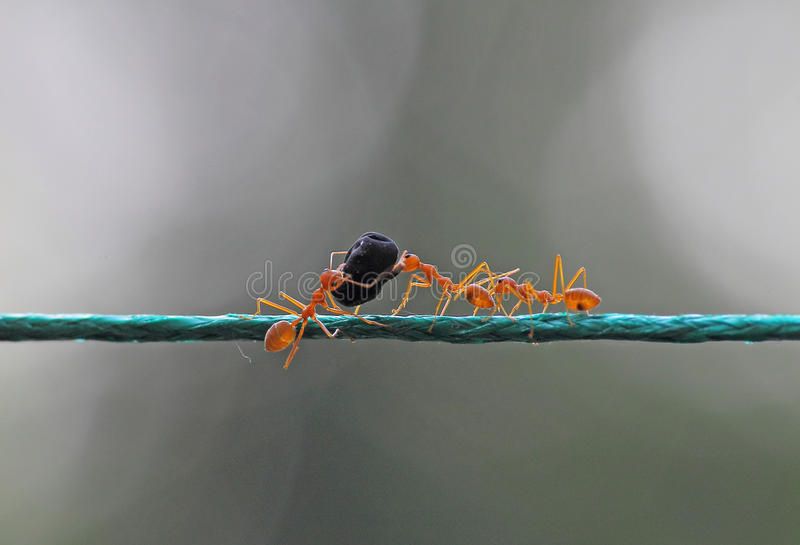 Concept teamwork and hardwork. Three ants carrying food on a rope. Concept of hard work and teamwork stock photos