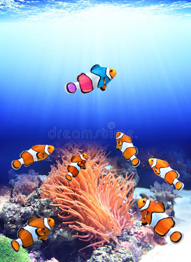 Flock of standard clownfish and one colorful fish. Concept - to be yourself, to be unique. A flock of standard clownfish and one colorful fish. On sunny royalty free stock image