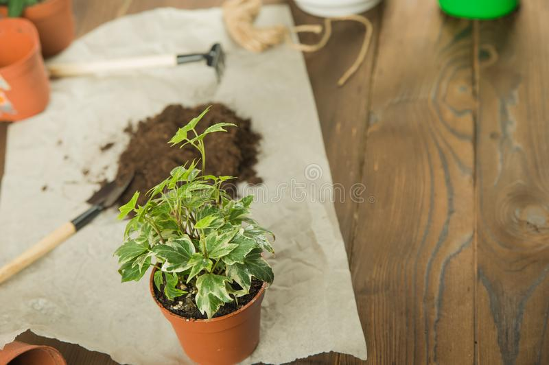 Concept of transplanting plants. Gardening rake and plants in pots on rumpled craft paper with copy space.  Taking care of home pl stock photo