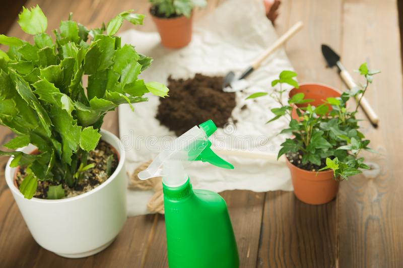 Concept of transplanting plants. Gardening rake and plants in pots on rumpled craft paper with copy space.  Taking care of home pl. Ants.  Schlumbergera cactus stock photo