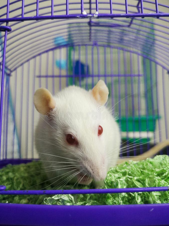 The concept of a trap. Rat sitting in a cage. White mouse is in captivity. Decorative Pets. Rodent behind bars royalty free stock photography