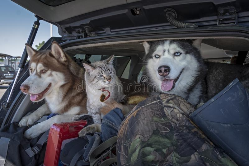 Concept of traveling with pets in the car. Husky dogs and a siamese cat with blue eyes in a luggage-filled car trunk royalty free stock photo