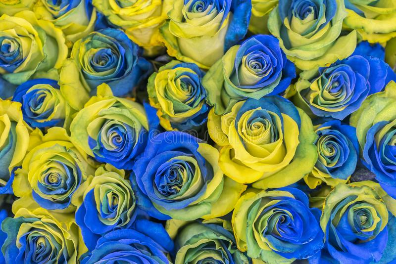 Concept ukrainian blue and yellow roses top view. Fancy yellow and blue roses. Fantastic flowers. Blue and yellow flowers of roses stock photography