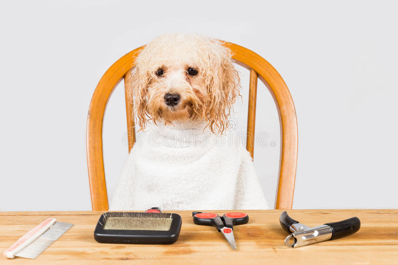 Concept of wet poodle dog seated after shower ready to be groomed in salon royalty free stock image