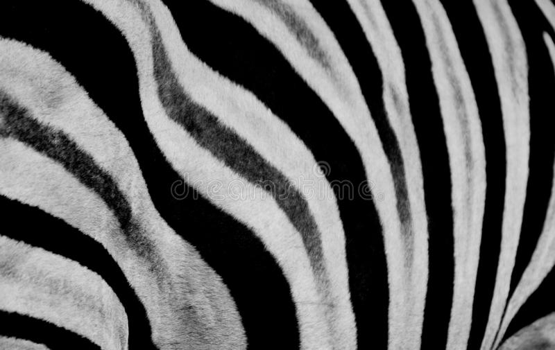 Conception d'impression de zèbre et modèle sans couture en noir et blanc et couleurs images stock