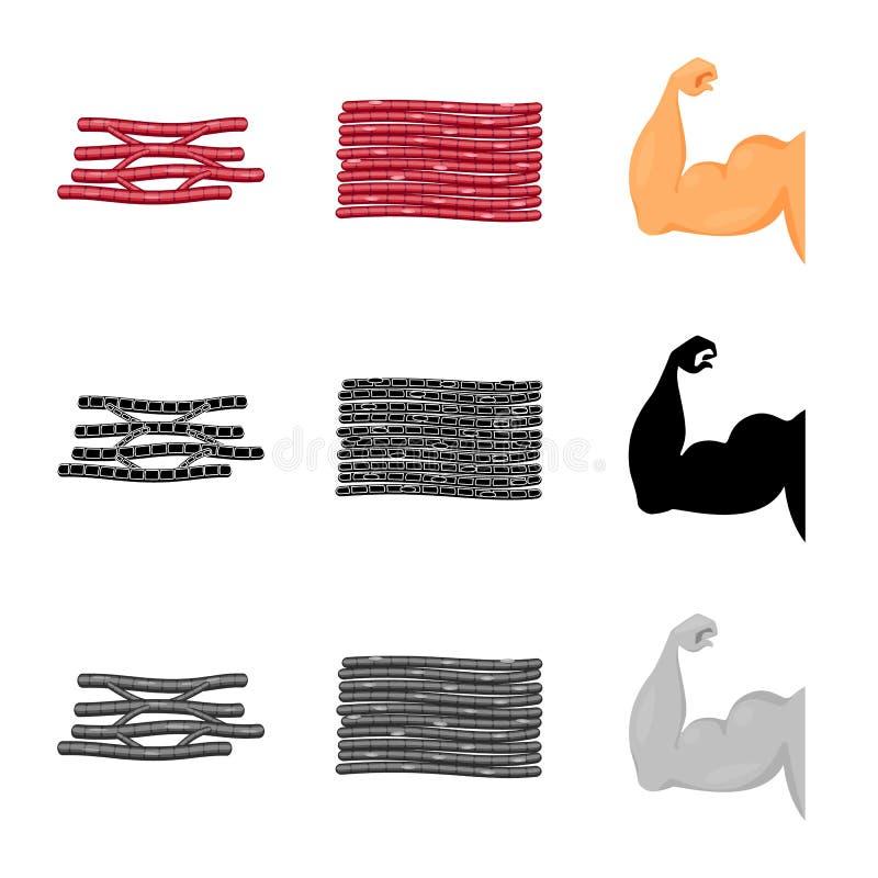 Conception de vecteur de fibre et de symbole musculaire Placez du symbole boursier de fibre et de corps pour le Web illustration stock