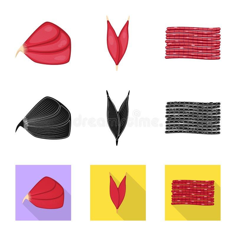 Conception de vecteur de fibre et de symbole musculaire Placez de l'ic?ne de vecteur de fibre et de corps pour des actions illustration libre de droits