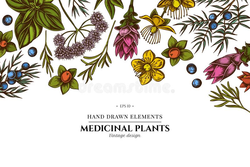 Conception florale avec l'angélique officinale colorée, basilic, genévrier, hypericum, romarin, safran des indes illustration libre de droits
