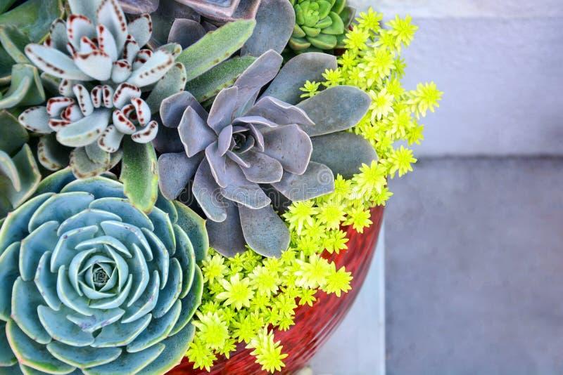 Conception florale de jardinage, jardin miniature dans le coup en céramique, collection d'usines succulentes de sempervivum images libres de droits
