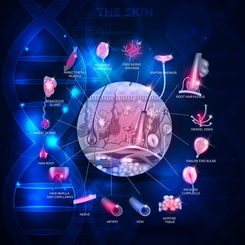 Conception scientifique d'abrégé sur anatomie de peau illustration stock