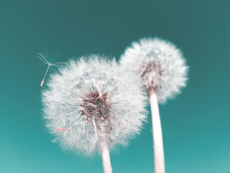 Concepto abstracto del verano Flor del diente de le?n contra fondo azul foto de archivo