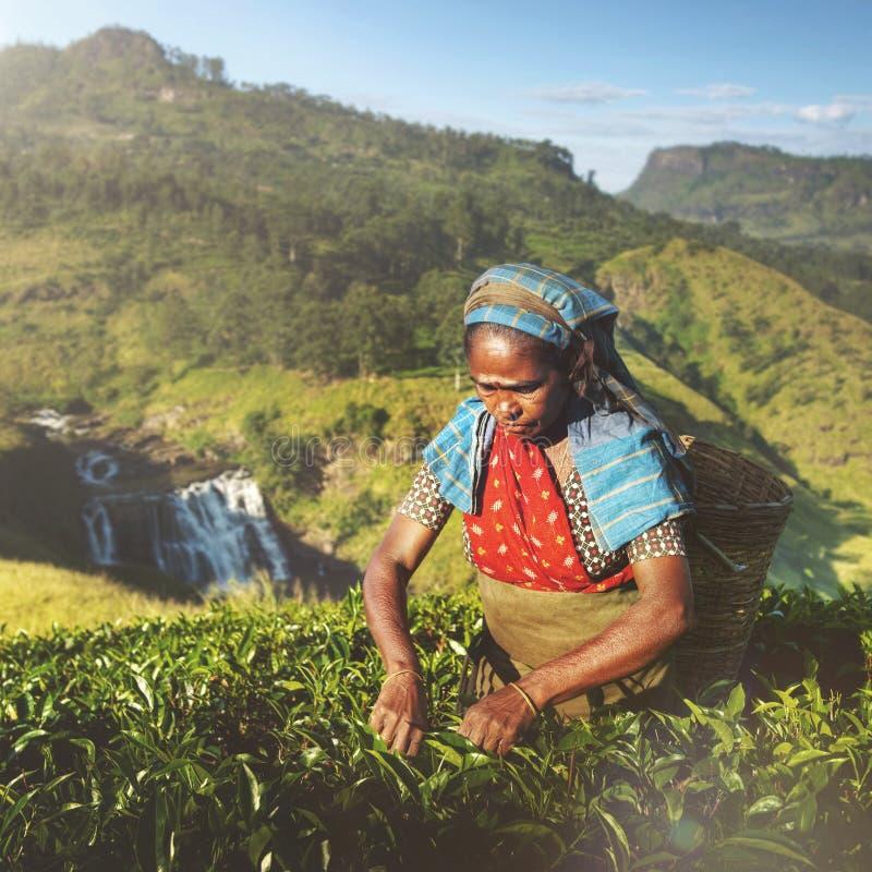 Concepto agrícola de la granja del recogedor srilanqués del té de Indigenious imagen de archivo libre de regalías