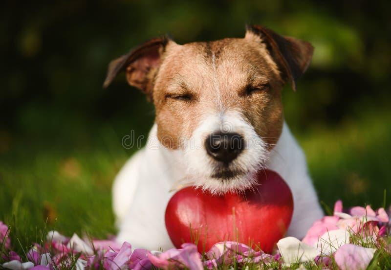 Concepto de amor con el perro, el corazón rojo y los pétalos color de rosa en hierba foto de archivo