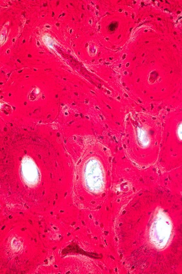 Concepto de anatomía de la educación y de fisiología del hueso compacto, o hueso cortical debajo del microscópico fotos de archivo