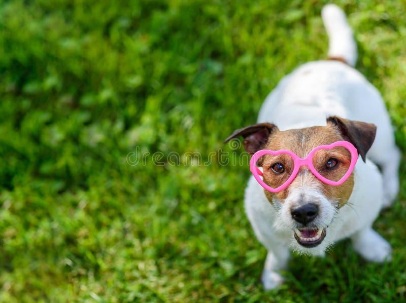 Concepto de día de San Valentín con los vidrios en forma de corazón que llevan del perro que miran para arriba en cámara fotografía de archivo libre de regalías